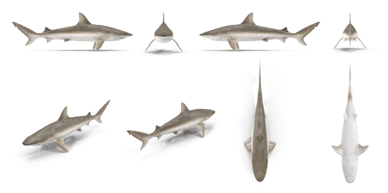 Blacknose Shark Fishing in Charleston