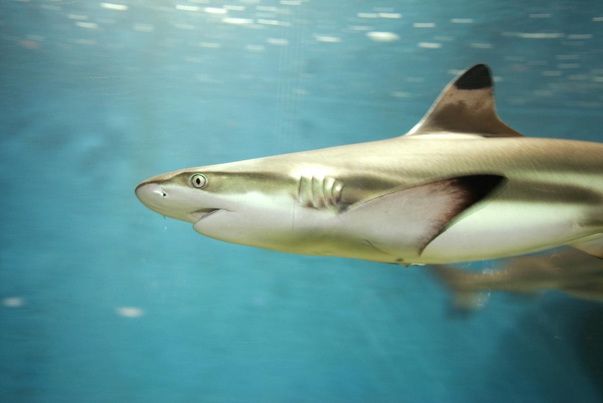 Sharpnose Shark Fishing in Charleston